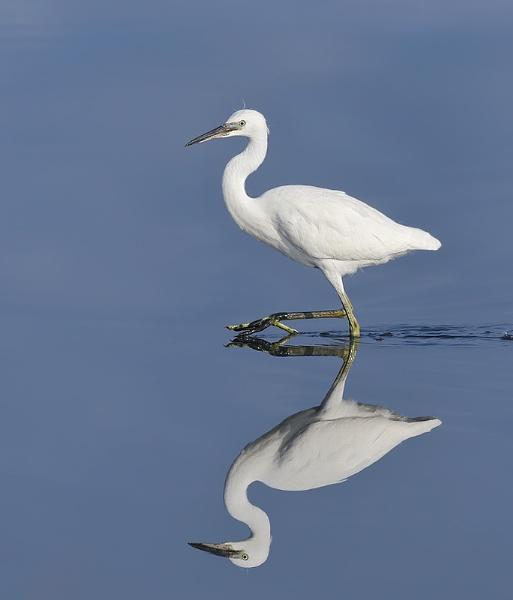 Little Egret by jm1
