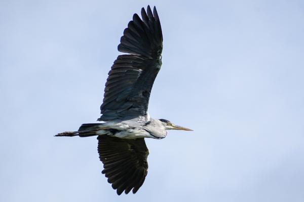 Heron in flight by billmyl