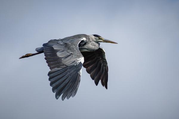 Heron in flight 2 by billmyl