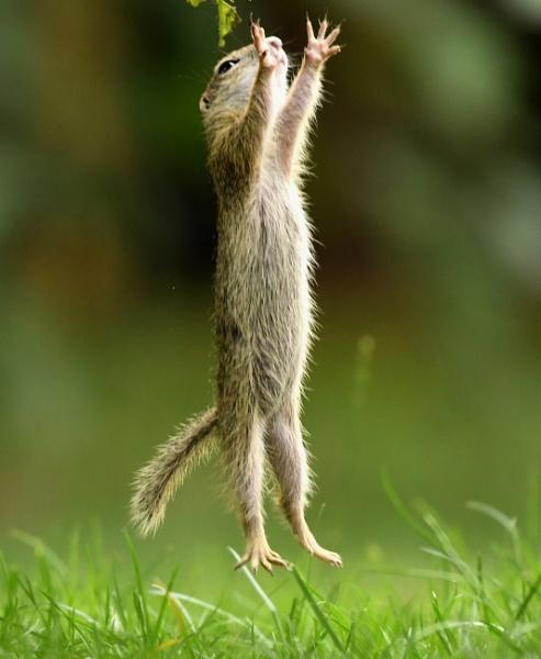 European Ground Squirrel by AlexAppleby