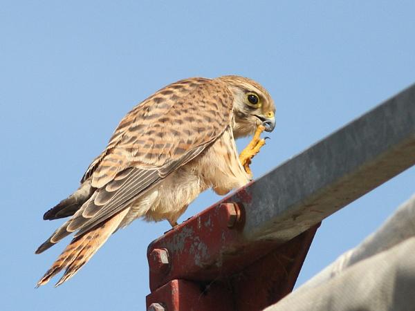 Kestrel-Falco tinnunculus by bobpaige1