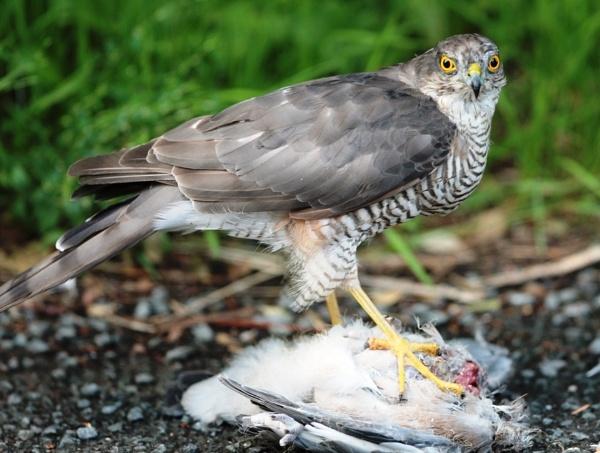 Female Sparrowhawk with fresh kill by pgarwood