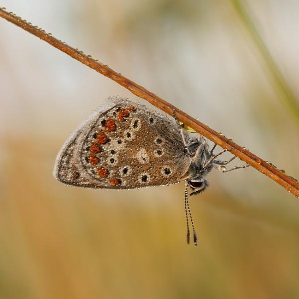 Common Blue by alfpics