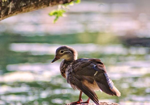 Sunning duck