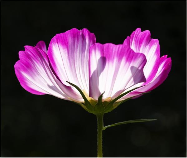 Backlit Bloom by Leedslass1