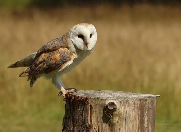 BARN OWL - MUNCASTER CASTLE, CUMBRIA by canoncarol