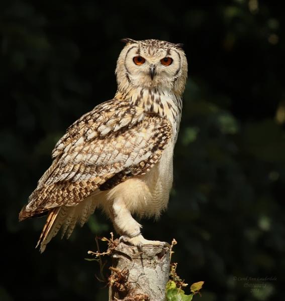 Muncaster Castle Owls by canoncarol