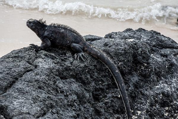 Marine Iguana - Galapagos (1) by barryyoungnz
