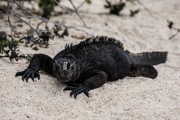 Marine Iguana (2) by barryyoungnz