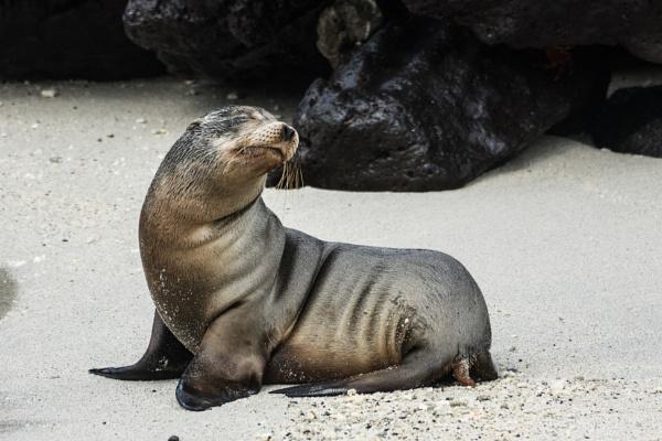 Sea Lion cub - Galapagos by barryyoungnz