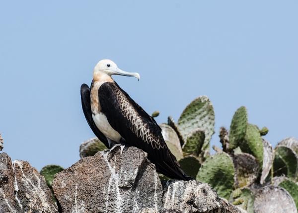 Juvenile Frigate Bird - Galapagos by barryyoungnz