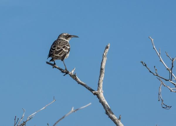Mocking Bird - Galapagos by barryyoungnz