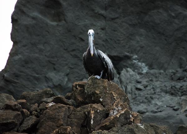 Galapagos Pelican (1) by barryyoungnz