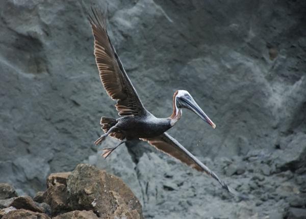 Galapagos Pelican (2) by barryyoungnz