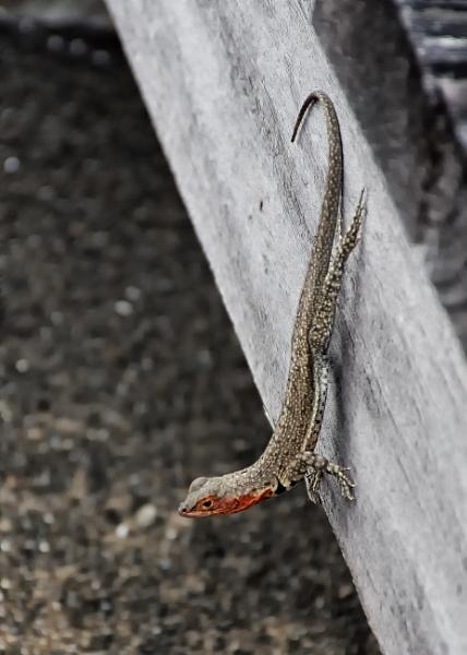 Galapapagos Lava Lizard (female) by barryyoungnz