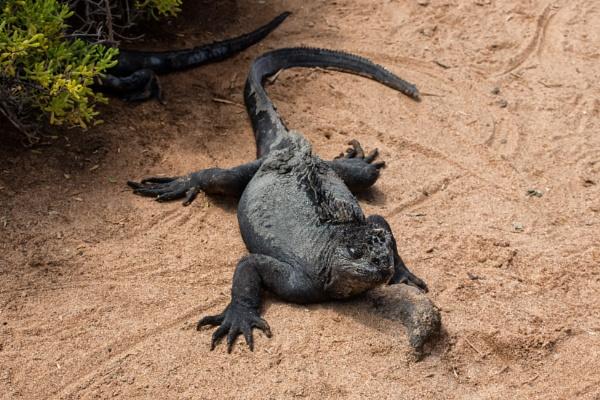 Iguana (5) by barryyoungnz