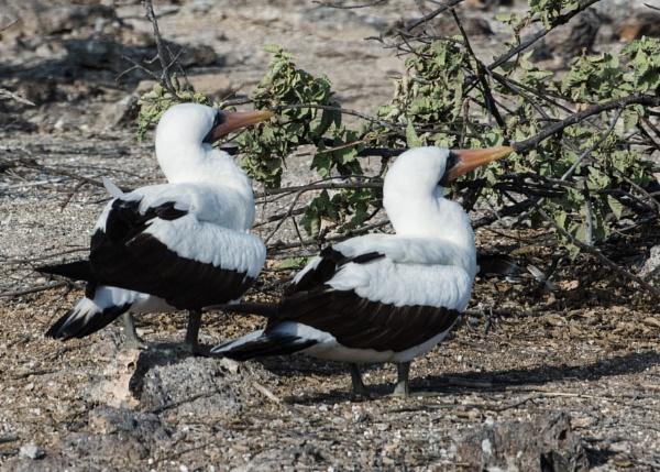 Nazca Booby - Galapagos by barryyoungnz