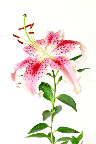 Lily by AlanPerkins