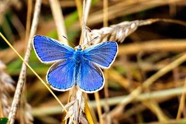 Adonis Blue by photographerjoe