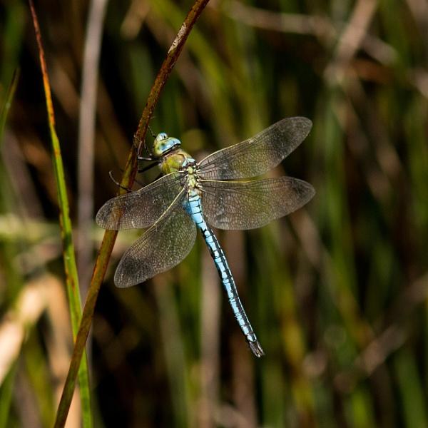 Emperor dragonfly by oldgreyheron