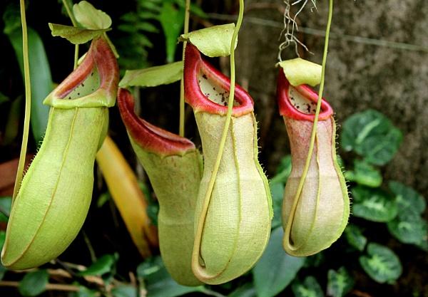 Pitcher plants by helenlinda