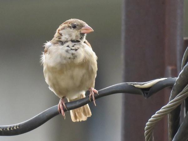 House Sparrow by prabhusinha