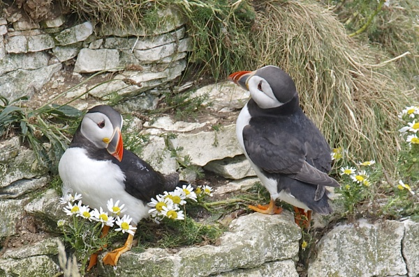 Puffins by harrywatson
