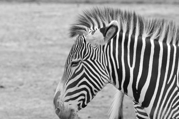 Zebra by harrywatson