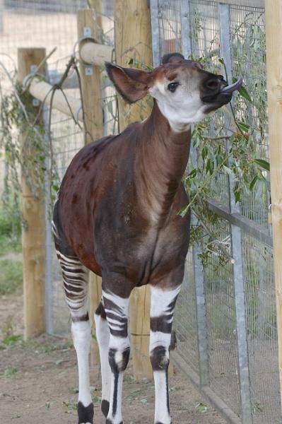 Okapi by harrywatson