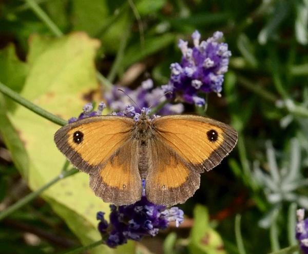 the Gatekeeper butterfly by sparrowhawk