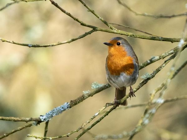 Robin by HelenHiggs