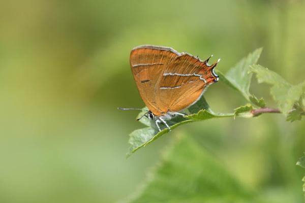 Female Brown Hairstreak Butterfly by Alfies_Girl
