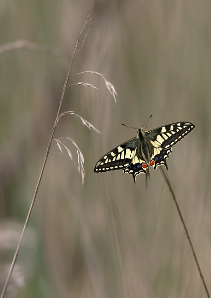 Swallowtail by Ray_Seagrove