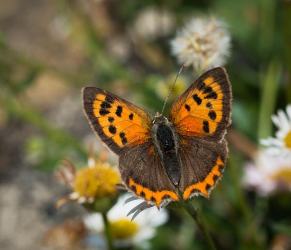Small Copper by jasonrwl