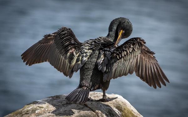 Preening Cormorant by BydoR9