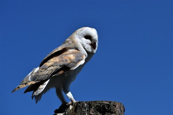 Barn Owl by ANNDORASBOX