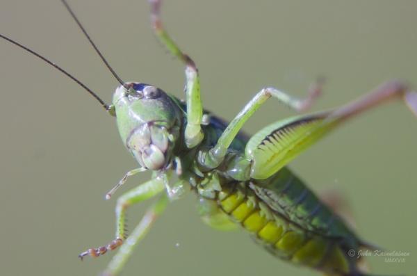 Grasshopper by jupokoo