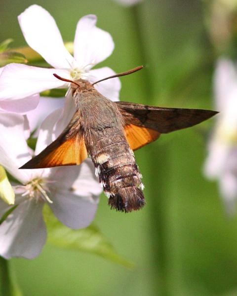 Hummingbird Hawkmoth-Macroglossum stellatarum by bobpaige1
