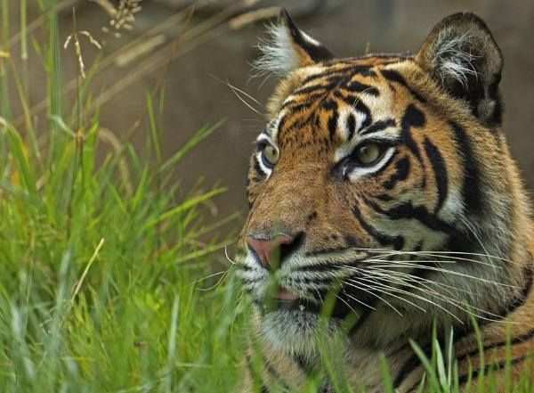 Sumatran Tiger by KevR