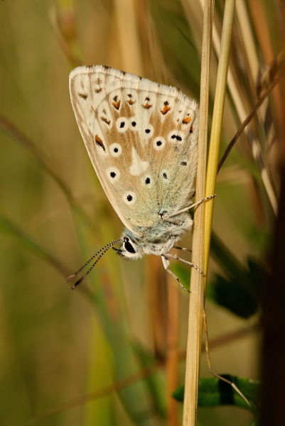 Chalkhill Blue by alfpics