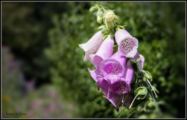 Foxglove In Lilac.