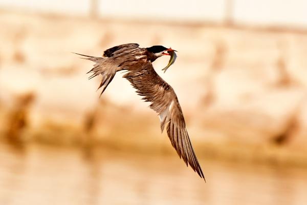 Bird in Flight carrying a fish !!! by Savvas511