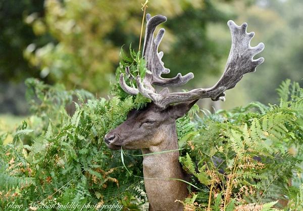 Red deer by Glenn1487