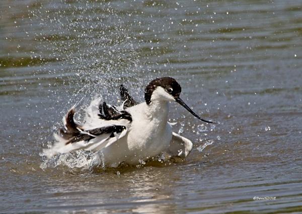 Avocet (Recurvirostra avosetta) by DaveNewbury