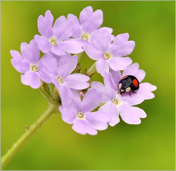 2 - spot Ladybird. by bricurtis