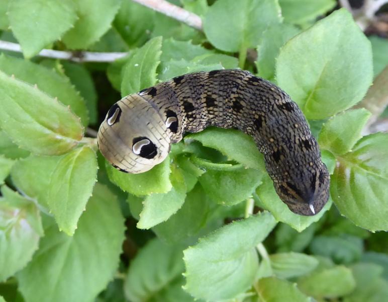 Monster Caterpillar