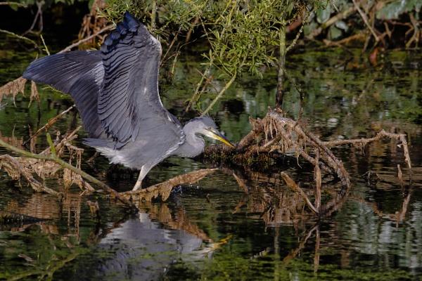 Hunting heron by chensuriashi