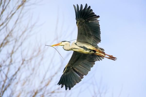 Soaring Heron by chensuriashi