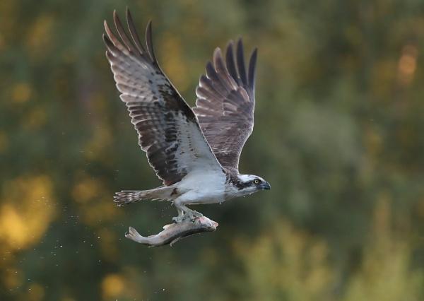 Osprey With Catch by NeilSchofield
