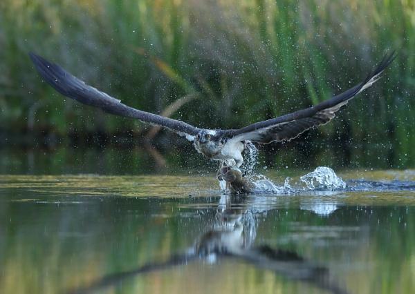 Osprey With Kill by NeilSchofield